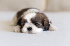 Глаз и нос меньшего щенка shih-tzu Стоковая Фотография RF