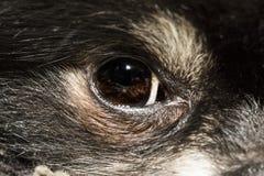 Глаз конца-вверх pomeranian Стоковое фото RF