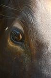 Глаз коровы Стоковое Изображение