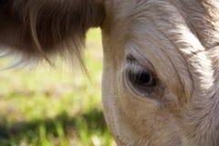 Глаз коровы Стоковая Фотография