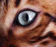 Глаз кота Бенгалии Стоковая Фотография RF