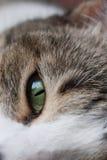 Глаз кота зеленый Стоковое Изображение
