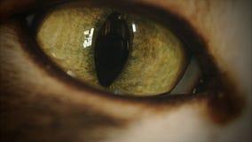глаз кота 4K двигая и наблюдая везде сток-видео