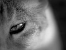 Глаз котов стоковые изображения rf
