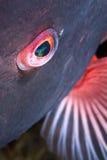 Глаз красочной рыбы Стоковое фото RF