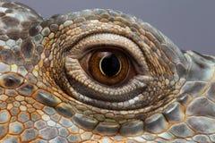 Глаз крупного плана зеленой игуаны стоковые фотографии rf