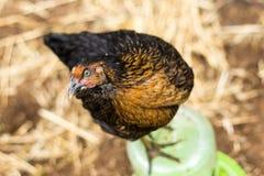 Глаз курицы Стоковое Фото