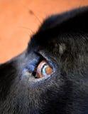 Глаз Лабрадора x Стоковое Фото