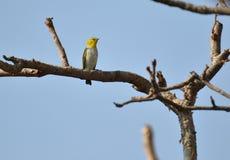 Глаз малой птицы восточный белый Стоковая Фотография