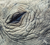 Глаз носорога Стоковые Фото
