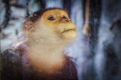 Глаз обезьяны Стрельба через стеклянный и селективный фокус Стоковые Фотографии RF