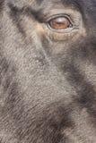 Глаз лошади Стоковое Фото