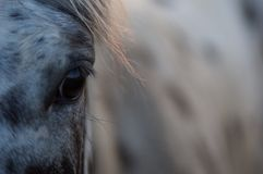 Глаз лошади Appaloosa Стоковая Фотография RF