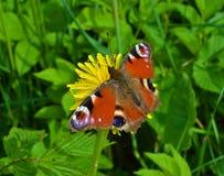 Глаз павлина бабочки на цветке Стоковое Изображение RF