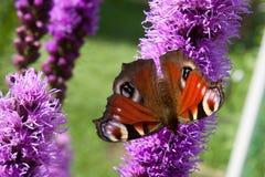 Глаз павлина бабочки предпосылки на фиолетовом spicata Liatris Стоковое Изображение RF