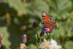 Глаз павлина дня бабочки на лист Стоковая Фотография