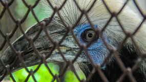 Глаз птицы-носорог Стоковые Изображения RF