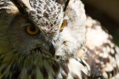 Глаз сыча орла Стоковые Фотографии RF