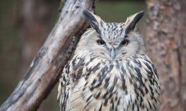 Глаз сыча орла Стоковое Изображение