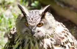 Глаз сыча орла Стоковое Фото