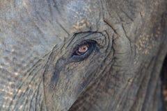 Глаз слона Стоковое Изображение