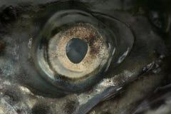 Глаз форели Стоковые Изображения RF