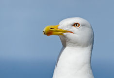 Глаз чайки Стоковое Фото
