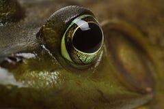 Глаз лягушки Bull стоковая фотография