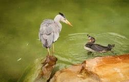 Глаз Egret и пингвина, который нужно наблюдать Стоковые Фото