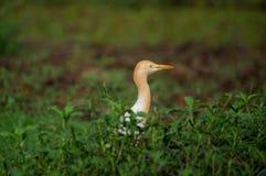 Глаз Egret скотин Стоковые Изображения RF