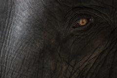 Глаз s слона 'унылый Стоковое фото RF