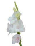 Гладиолус изолированный на белой предпосылке Стоковые Изображения