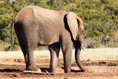 Где вода - слон Буша африканца Стоковые Фотографии RF