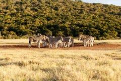 Где сделал воду пойдите - зебра Burchell Стоковое Изображение