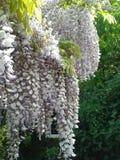 Глициния в цветени Стоковая Фотография