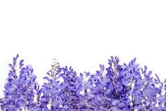 Глициния цветет элемент флористического дизайна Стоковые Изображения