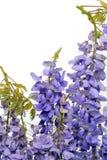 Глициния цветет элемент флористического дизайна Стоковое Фото