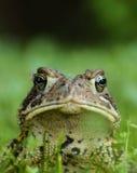 Г-н жаба Стоковые Изображения