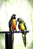 Г-н и Mrs Macaw Стоковое фото RF