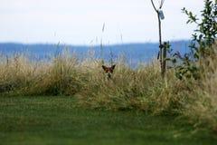 Г-н Fox посещая наш сад думая он спрятан в траве стоковое изображение