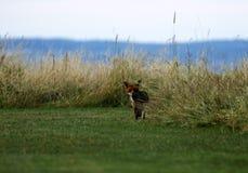 Г-н Fox посещая наш сад думая он спрятан в траве стоковая фотография rf
