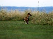 Г-н Fox посещая наш сад думая он спрятан в траве стоковая фотография