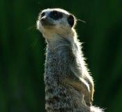 г-н meerkat Стоковая Фотография RF