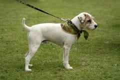 г-н terrier Стоковые Изображения RF