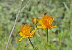 Глобус-цветок (Trollius chinensis) Стоковое Изображение RF