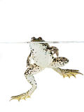 глубина eyed вода вала красного отражения лягушки фокуса поля глаз отмелая Стоковые Изображения RF