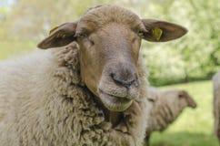 глубина eyes овцы портрета фокуса поля отмелые Стоковые Фото