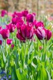 Глубокая темнота - красный тюльпан Стоковая Фотография