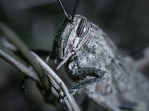 Глубокая фобия кузнечика Стоковое Фото