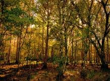 глубокие древесины Стоковые Фотографии RF